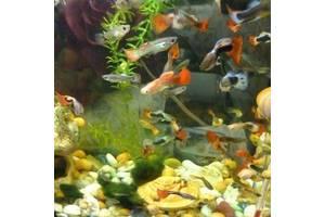ac727ea2a13bf7 Добавить фото. Акваріумістика. Рибка Гуппі, мирна невибаглива акваріумна ...