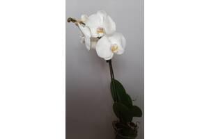 Білосніжна красуня орхідея