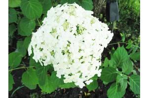 Гортензия белая древовидная