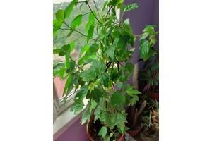 Гибискус-китайская роза-домашнее дерево