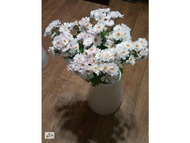 Хризантема, маточник