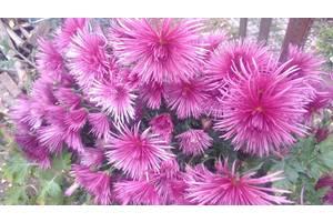 Хризантемы высокие и мультифлора
