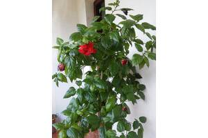 Китайська троянда