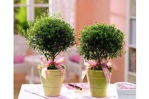 Мирт - миртовое дерево