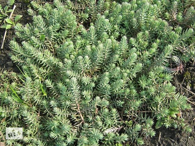 купить бу Очиток голубой почвопокровный в Фастове