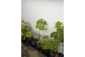 Продам єлітні сорта винонрада, саджанці плодових дерев