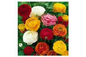 Продаю ранункулюсы разного цвета, клубни для посадки весной.