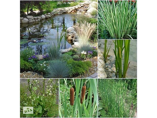 купить бу Прибрежные и водные растения для декоративных водоемов, создание биоплато в Львове