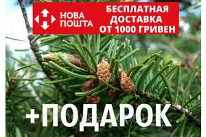 Пихта дугласа семена (50 шт) (Псевдотсуга Мензиса тиссолистная, Дугласия, Pseudotsuga menziesii) для саженцев