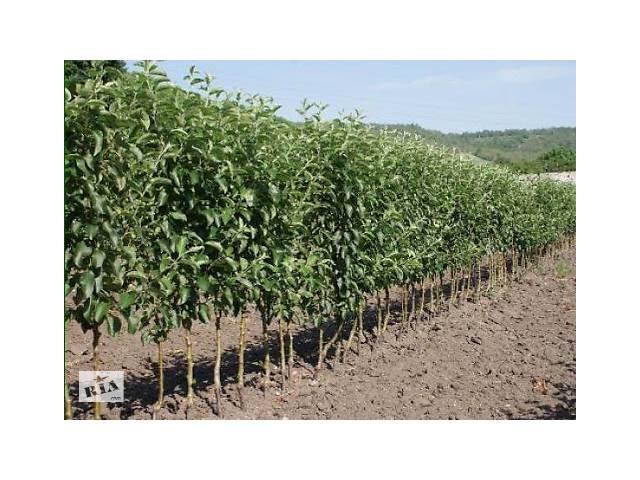 бу Саджанці плодових дерев в Дніпрі (Дніпропетровськ)