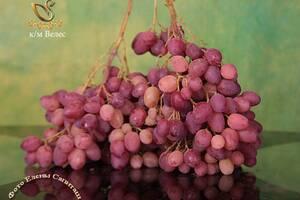 Саджанці винограду. Осінь 2021