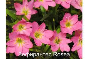 Зефирантес розеа
