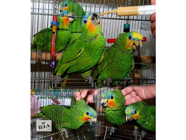 бу Амазоны – попугаи для семьи в Киеве
