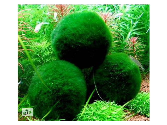 Эгагропила - Кладофора. Темно-зеленый бархатный шар в аквариуме!- объявление о продаже  в Харькове