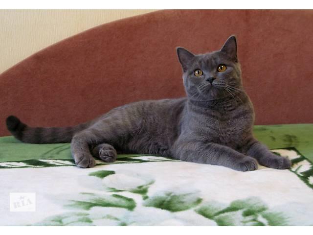 продам Бесподобный плюшевый котик. Голубой британчик. бу в Днепре (Днепропетровск)