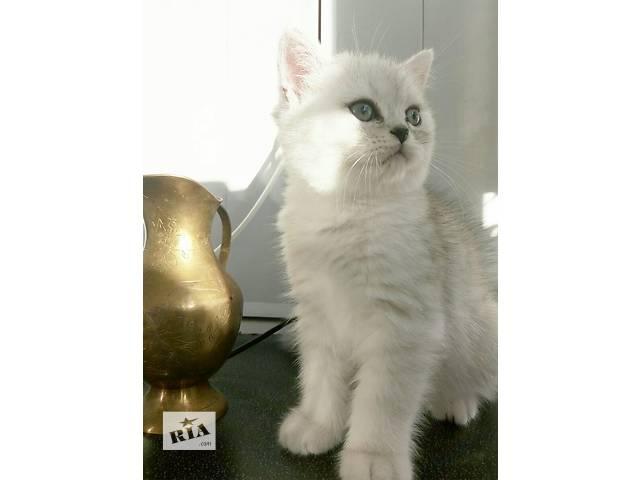 Британских котят- объявление о продаже  в Киеве