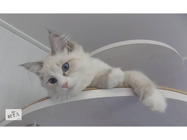 бу Кошечка невской маскарадной кошки в Киеве
