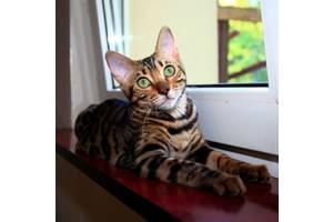 Бенгальські кішки