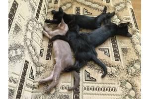 Бурманські кішки