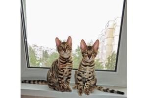 Бенгальскиекошки