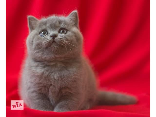 Чистокровные британские кошечки от Чемпиона мира!- объявление о продаже  в Киеве