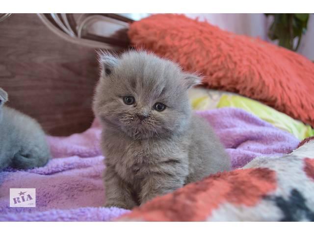 купить бу Чистокровные британские котята в Киеве