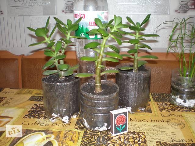 купить бу Денежные деревца в Днепре (Днепропетровск)