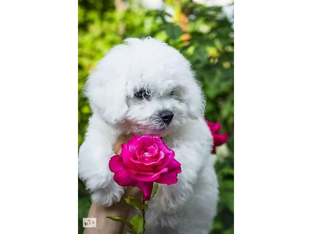 Продам щенков бишон фризе- объявление о продаже   в Украине