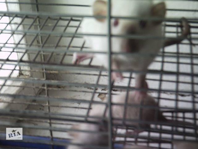 купить бу Крысята сиамские в Харькове