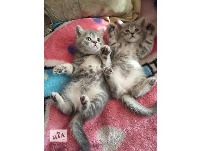 купить бу Очень ласковые котята шотландские  страйт в Тернополе