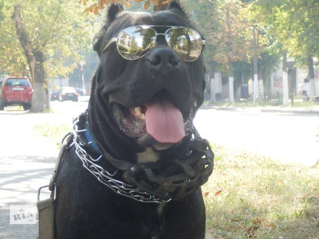 Элитные щенки Кане Корсо- объявление о продаже  в Киеве