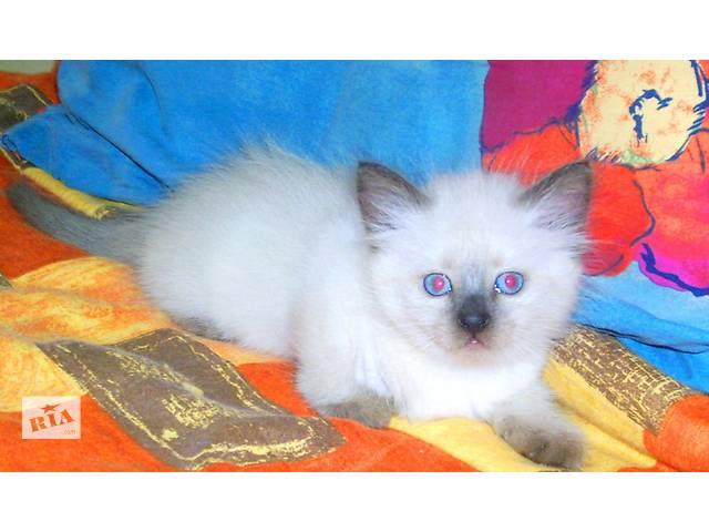 голубоглазые сиамские(тайские) котята- объявление о продаже  в Запорожье