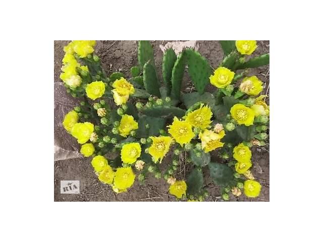 продам Опунция садовая – кактус, зимующий в открытом грунте. бу в Херсоне