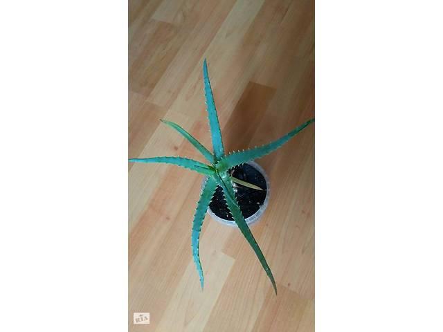 Алоэ. Комнатное растение- объявление о продаже  в Житомире