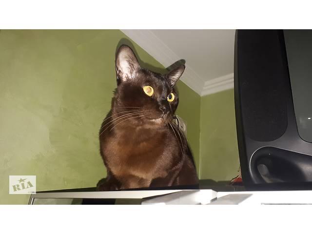 продам Бурманский кот приглашает на вязку бу  в Украине