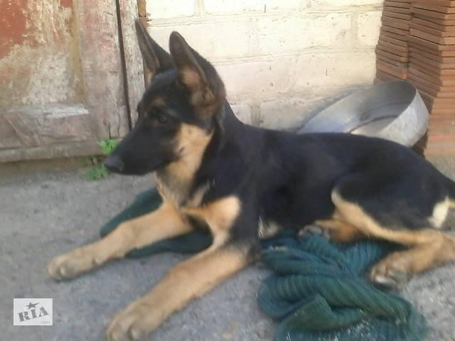 Продам щенка немецкой овчарки- объявление о продаже  в Вольнянске