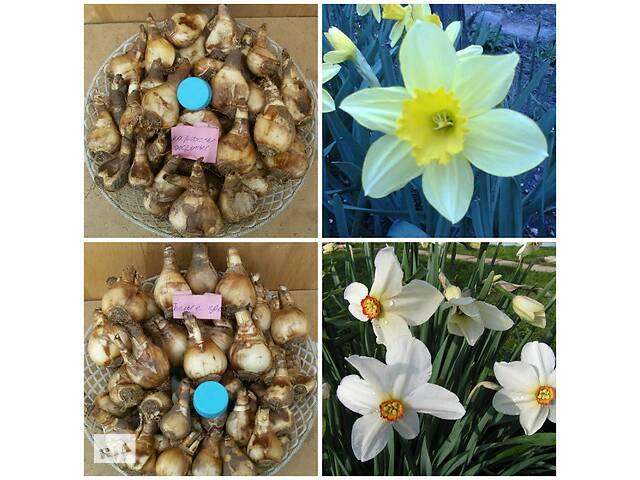 купить бу Нарциссы луковицы в Днепре (Днепропетровск)
