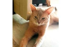 Вязка абиссинский кот (окрас фавн)