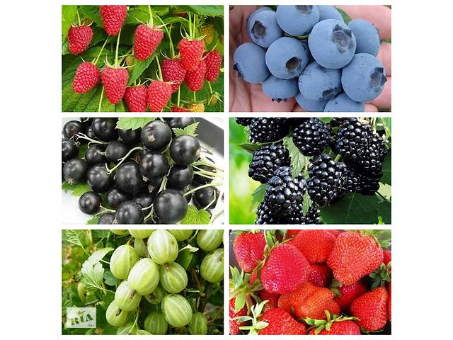 Саженцы  плодовых деревьев яблони,груши,сливы,черешни,персик,нектарин,абрикос,алыча,шелковица,черешня,вишня,айва.