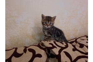 Шотлантские котята,мрамор