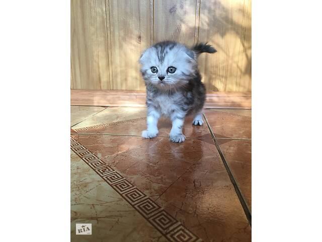 продам Продам шотладских котят! бу в Борисполе