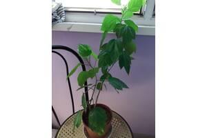 китайская роза. гибискус-чудо дерево в дом или офис