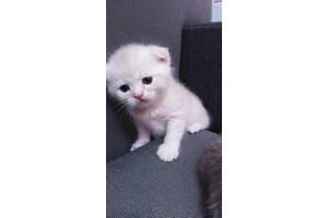 Кошенята скоттиш - фолд