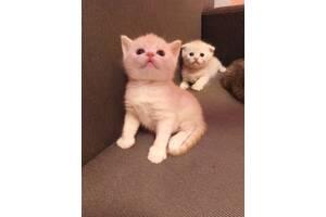 Кошенята скоттиш - фолд/страйт