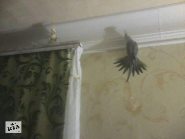 купить бу ПРОДАЮ попугаїв  корелла в Кропивницькому, не висилаю в Кропивницком (Кировоград)