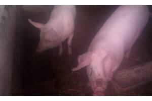 Продам свинок для докорма