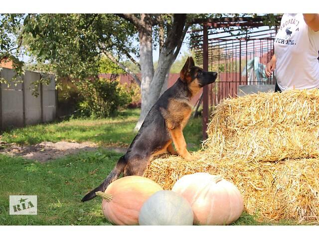 купить бу Щенки немецкой овчарки в Киеве