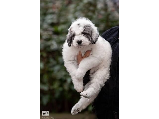 купить бу Найкращій собака для охорони елітних дворів. в Новых Санжарах