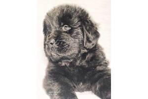Продам щенков Ньюфаунленда