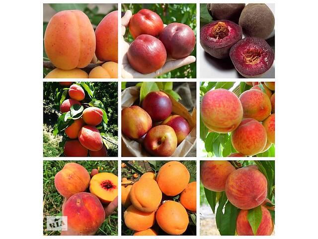 Саджанці персика, нектарина, абрикос Великий вибір нових сортів.- объявление о продаже  в Дніпрі (Дніпропетровськ)